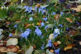 Autumn gentians