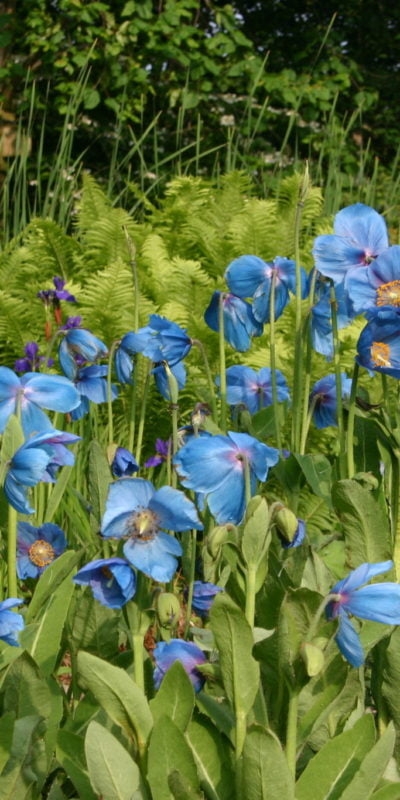 Meconopsis Lingholm - May