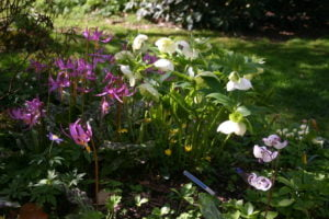 Erythronium and Hellebores