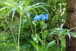 Arisaema and Meconopsis