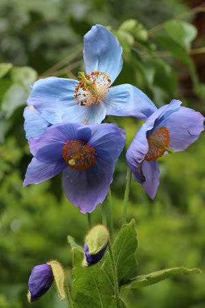 Meconopsis Willie Duncan