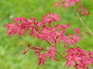 Acer palmatum Ben Maiko