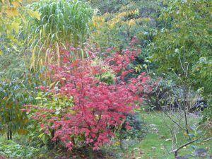 Cer palmatum Trompenburgh